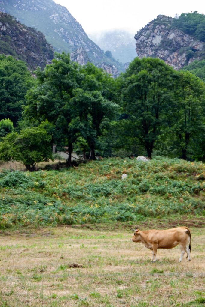 Asturian Cow Spain
