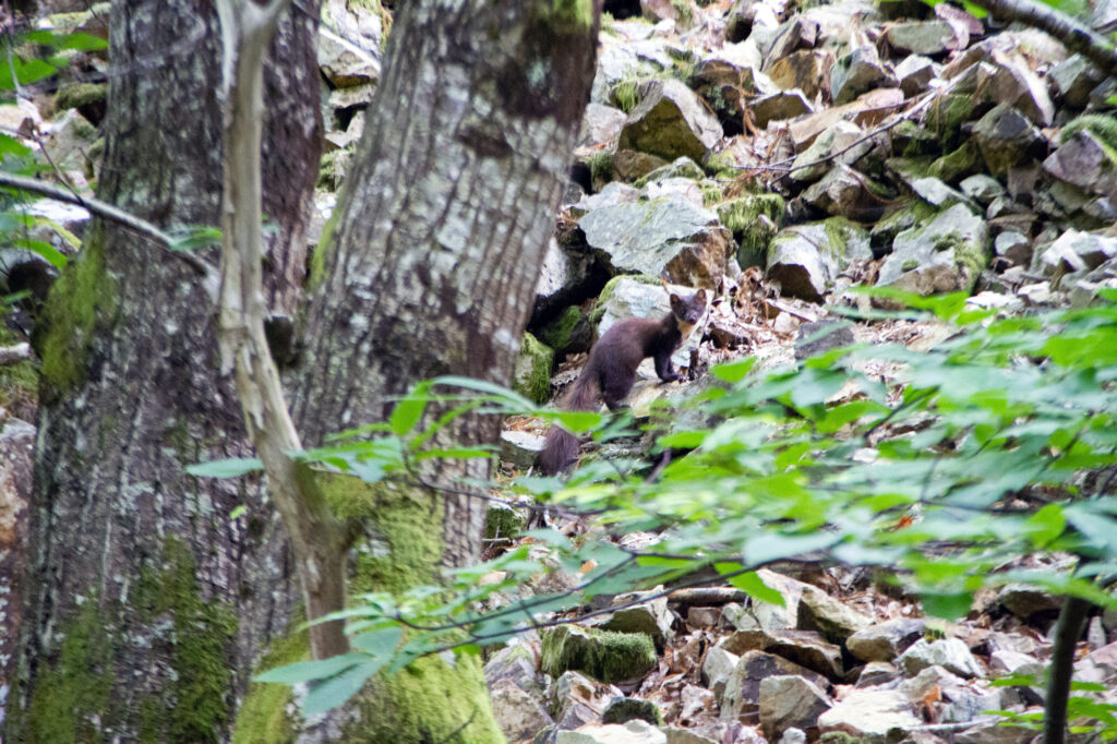 Weasle Asturias Spain