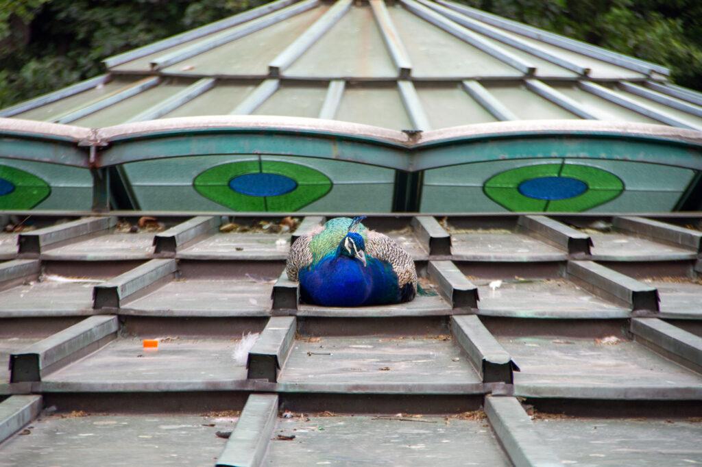 Peacock taking a nap