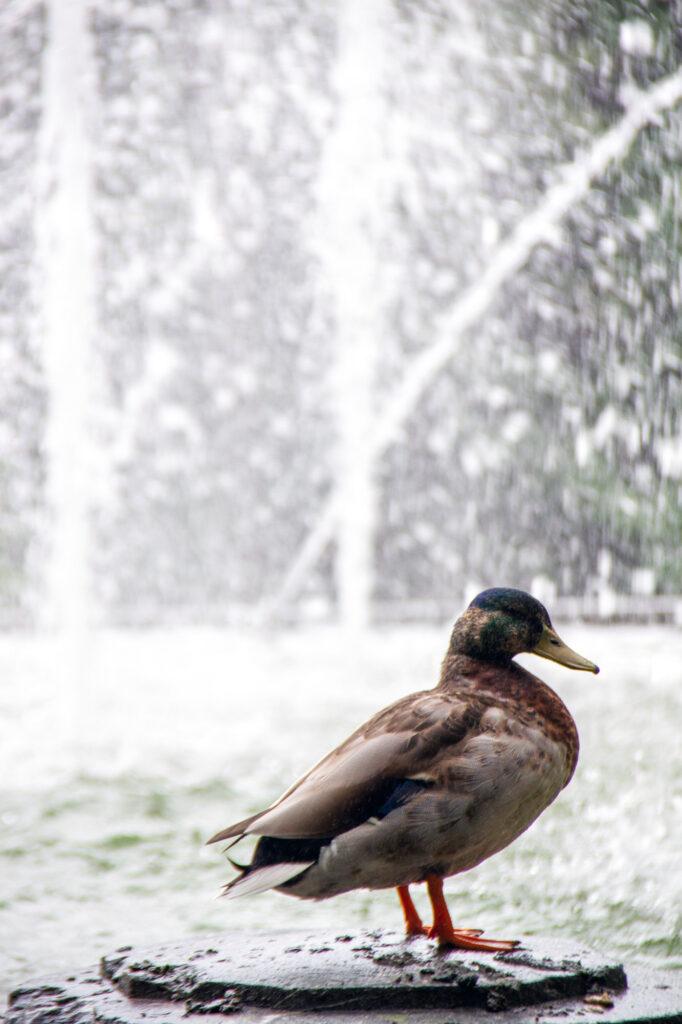 Duck taking a shower