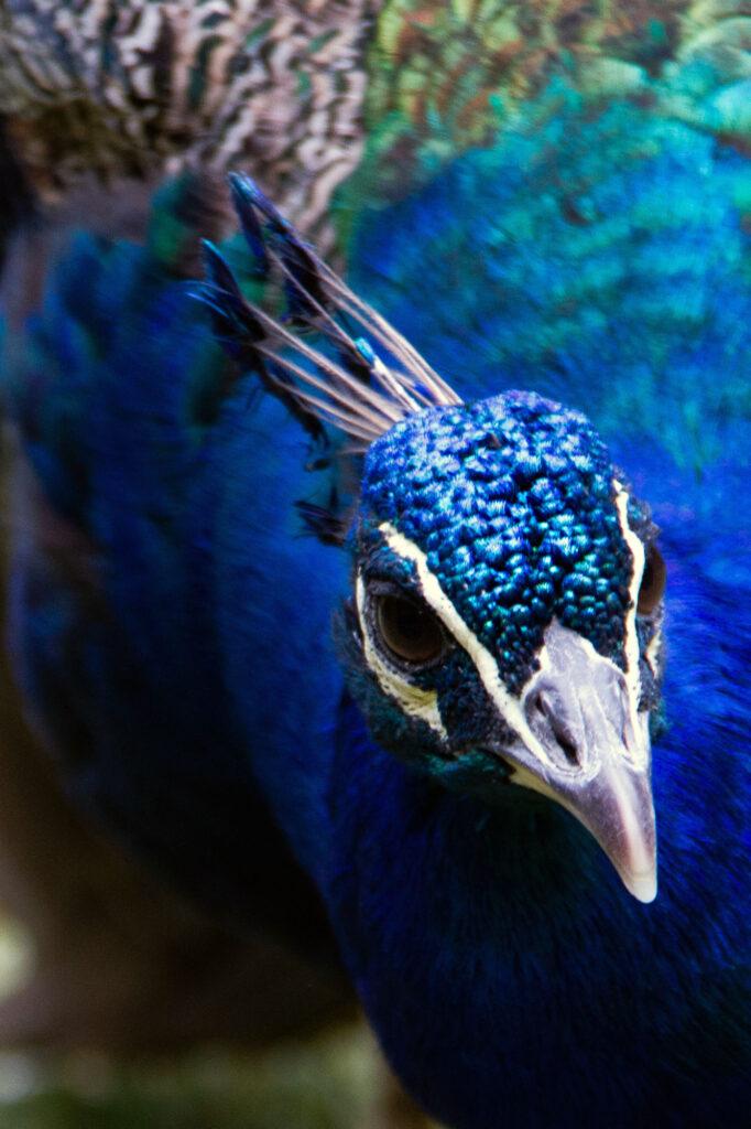 Peacock Bird Portraits